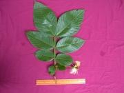 Inga goldmanii Flower Leaf