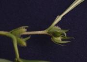 Inga marginata Leaf