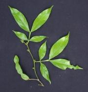 Inga marginata Fruit Leaf