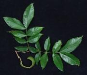 Inga pezizifera Fruit Leaf