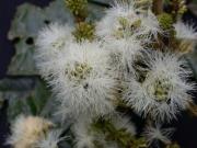 Inga ruiziana Flower