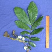 Inga ruiziana Flower Leaf