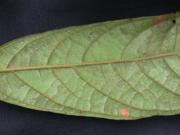 Inga ruiziana Leaf