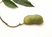 Inga umbellifera Fruit