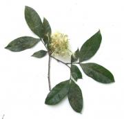 Inga umbellifera Flower Leaf