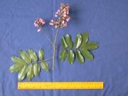 Andira inermis Flower Leaf