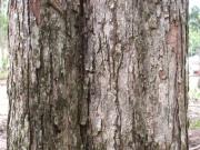 Dalbergia retusa Bark