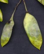 Dalbergia retusa Fruit