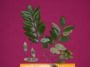 Dalbergia retusa Fruit Leaf