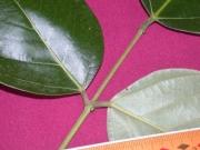 Erythrina fusca Gland