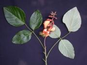 Erythrina fusca Flower Leaf