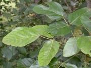 Erythrina fusca Leaf