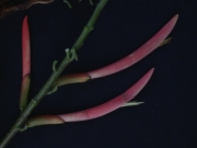 Erythrina rubrinervia Flower