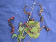 Erythrina rubrinervia Fruit