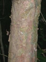 Fissicalyx fendleri Bark