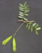 Platypodium elegans Fruit Leaf