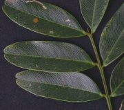 Platypodium elegans Leaf
