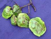 Pterocarpus officinalis Fruit