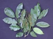 Pterocarpus officinalis Flower Leaf