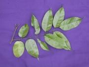 Pterocarpus officinalis Leaf