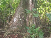 Pterocarpus officinalis Root