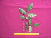 Swartzia panamensis Leaf