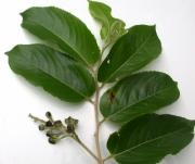Banara guianensis Fruit Leaf
