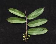Laetia procera Fruit Leaf