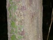 Lindackeria laurina Bark