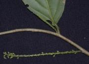 Lozania pittieri Flower