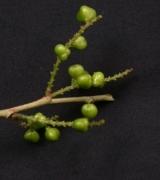 Lozania pittieri Fruit
