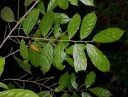 Lozania pittieri Flower Leaf