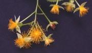 Prockia crucis Flower