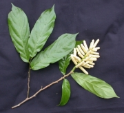Tetrathylacium johansenii Flower Leaf
