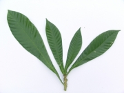 Grias cauliflora Leaf