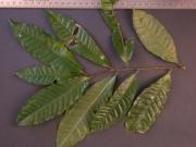Lecythis ampla Leaf