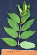 Adenaria floribunda Leaf