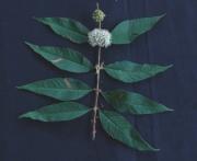 Adenaria floribunda Flower Fruit Leaf