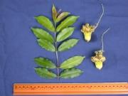 Lafoensia punicifolia Flower Leaf