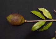 Lafoensia punicifolia Fruit Leaf