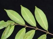 Lafoensia punicifolia Leaf