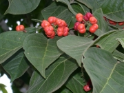 Bunchosia odorata Fruit