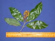 Byrsonima spicata Flower Leaf
