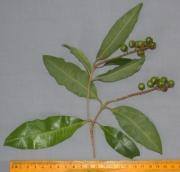 Byrsonima spicata Fruit Leaf