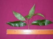 Byrsonima spicata Leaf