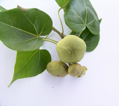 Thespesia populnea Fruit