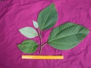 Bellucia pentamera Leaf