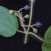 Clidemia octona Fruit
