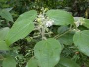 Clidemia octona Flower Fruit Leaf