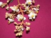 Conostegia xalapensis Flower